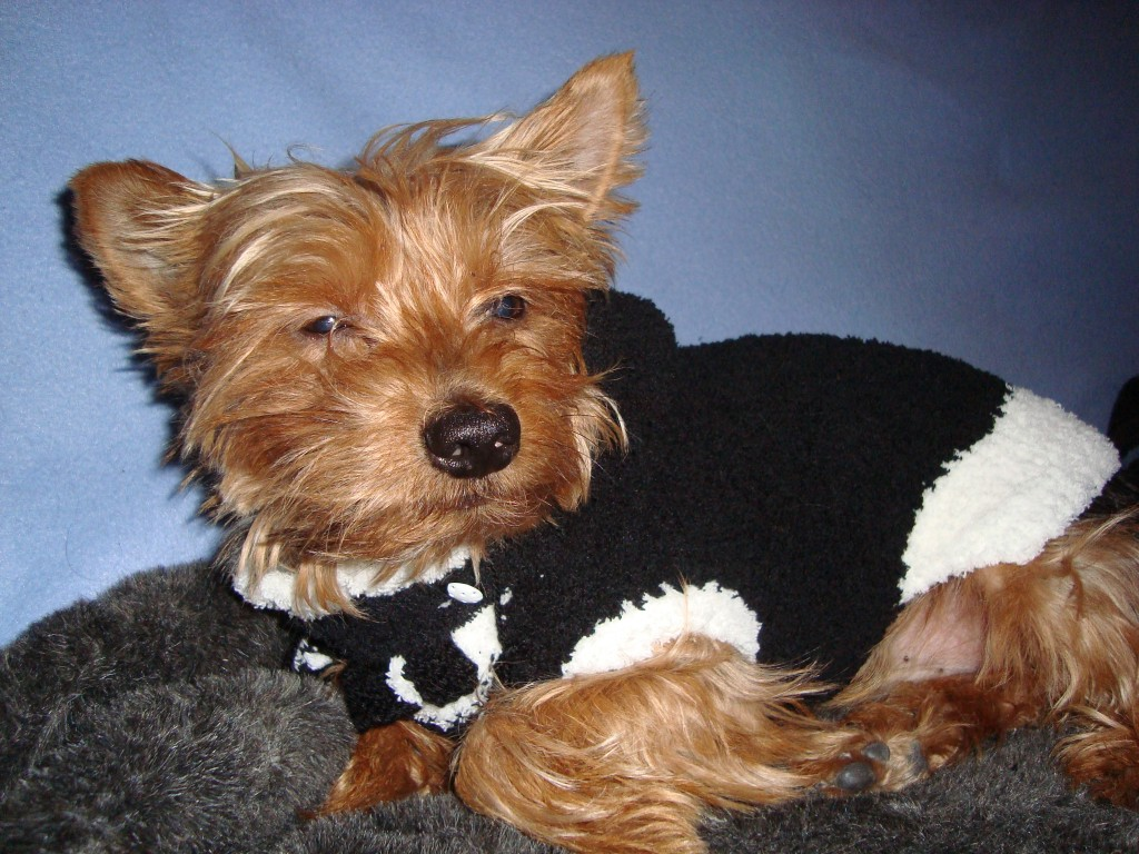 photo tricot modele tricoter pull chien 12