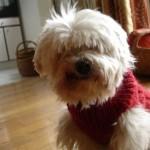 photo tricot modèle tricot manteau pour chien 13