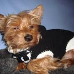 photo tricot modèle tricot manteau pour chien 18